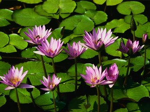 Water_lilies-medium